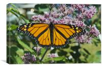 Monarch butterfly feeding, Canvas Print