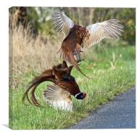 Cock pheasants fighting, Canvas Print