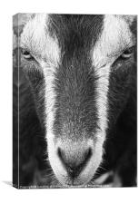 The City Goat, Canvas Print