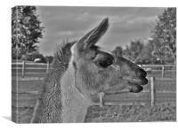 Llama, Canvas Print