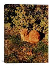 Ginger Cat Nap, Canvas Print