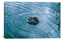 River Duck, Canvas Print