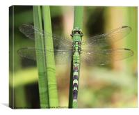 Green dragonfly, Canvas Print