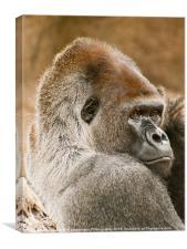 Lowland Gorilla Portrait, Canvas Print