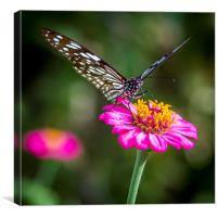 Butterfly on the red flower, Canvas Print