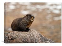 A marmot on a rock in the Mt. Evans area of Colora, Canvas Print