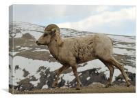 Big horn sheep on the tundra at Mt. Evans in Color, Canvas Print