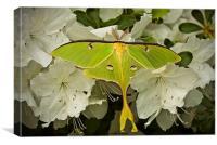 Luna Moth (Actias luna)., Canvas Print