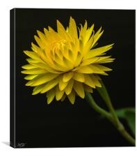Yellow paper daisy, Canvas Print