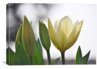 white tulips, Canvas Print