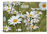 wild daisies, Canvas Print