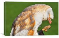 Barn owl eating, Canvas Print