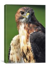 buzzard hawk, Canvas Print
