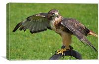 buzzard hawk on display, Canvas Print