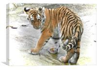 tiger feet, Canvas Print