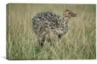 Baby Ostrich, Canvas Print