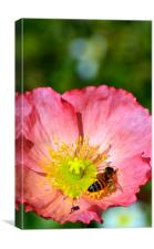 Wasp in a Poppy, Canvas Print