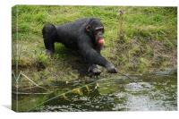 Chimp after food, Canvas Print