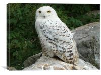 Snowy Owl, Canvas Print