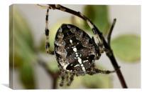 Garden Spider, Canvas Print