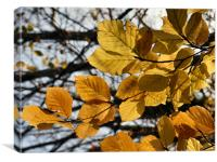 Beech Leaves, Canvas Print