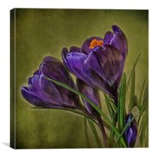 Canvas of Purple Crocus, Canvas Print