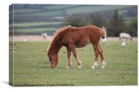 Dartmoor Pony Foal, Canvas Print
