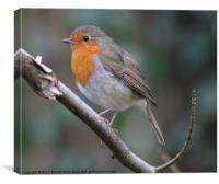 Erithacus rubecula Robin, Canvas Print