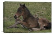 Foaling Around, Canvas Print
