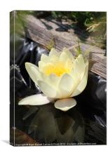 Water Lilly Reflection, Canvas Print