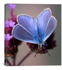 Male Common Blue, Canvas Print