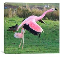 Greater Flamingo (Phoenicopterus roseus), Canvas Print