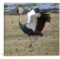 Grey Crowned Crane Kenya