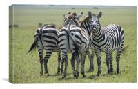 Cheeky zebra, Canvas Print