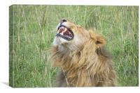 Kenyan Roaring Lion, Canvas Print