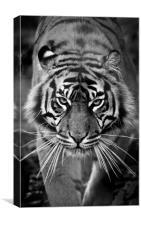 Sumatran Tiger - Fi Fy Fo Fum, Canvas Print