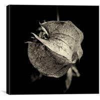 a study of Nicandra physalodes, Canvas Print