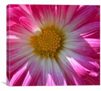 pink chrysanthemum, Canvas Print