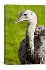 Ostrich Portrait, Canvas Print