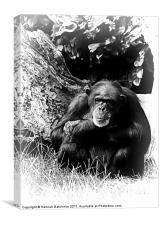 A Chimpanzee Study, Canvas Print