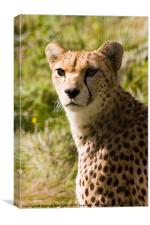 The Magnificent Cheetah, Canvas Print