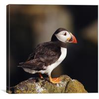 Puffin on rock, Canvas Print