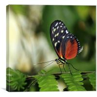 Tiger Longwing Butterfly, Canvas Print