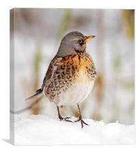 Fieldfare in the snow, Lochwinnoch, Canvas Print
