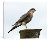 Male Sparrowhawk, Canvas Print
