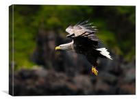 White tailed Sea Eagle, Canvas Print