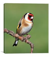 Goldfinch, Canvas Print