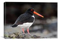 Oyster Catcher, Canvas Print