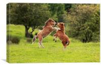 Shetland Pony's, Canvas Print