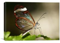 Glasswing tropical Butterly, Canvas Print